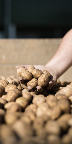 Tolls Kartoffeln